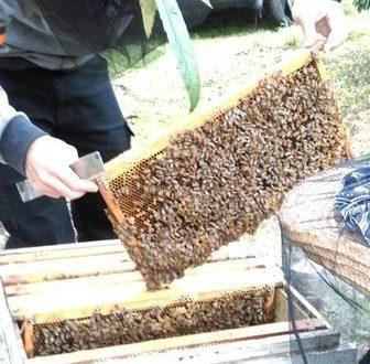 田間放蜂6