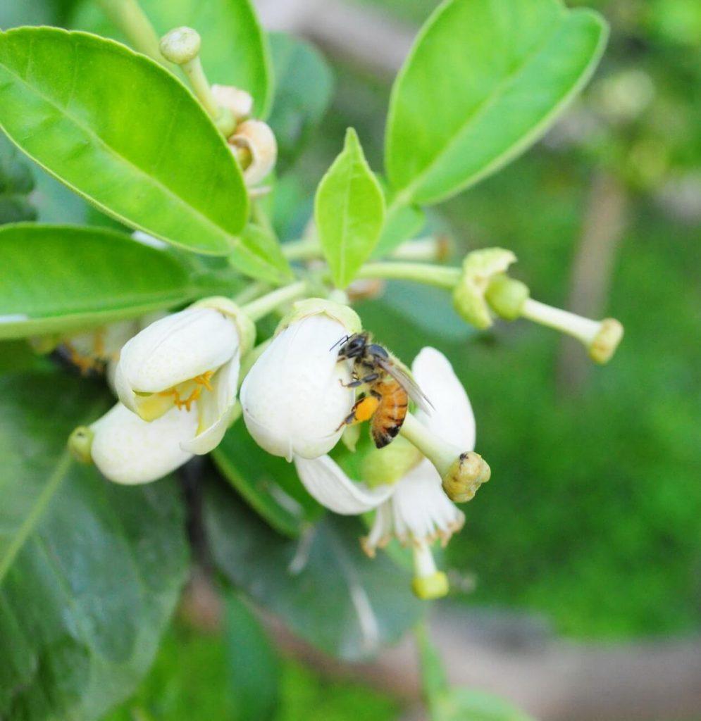 小蜜蜂授粉、花粉