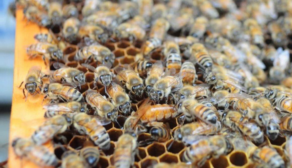 工蜂追著女王蜂