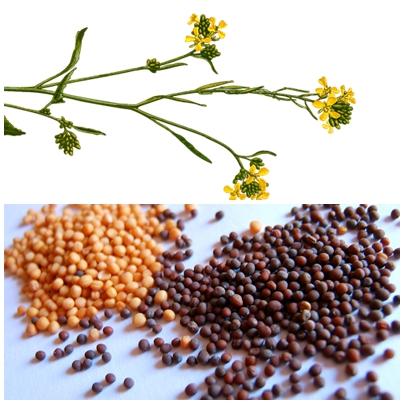 蜂蜜芥末-芥菜及種子
